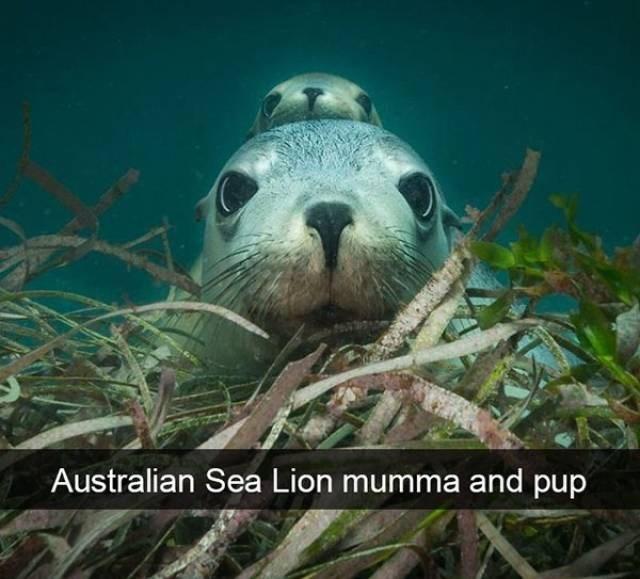 Vertebrate - Australian Sea Lion mumma and pup
