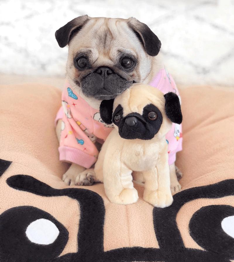 pug - Dog - - U