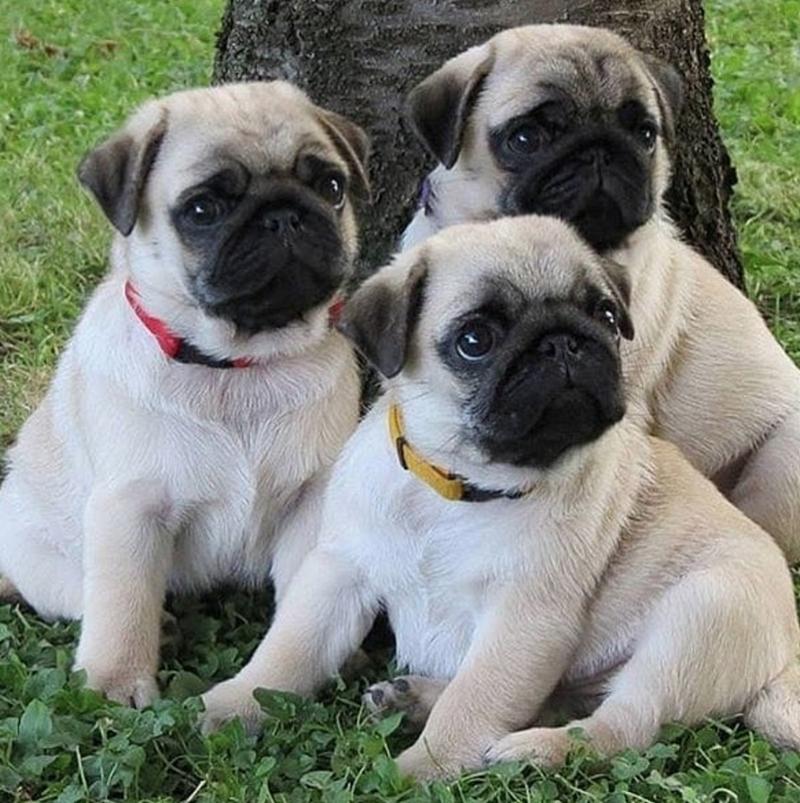 pug - Dog