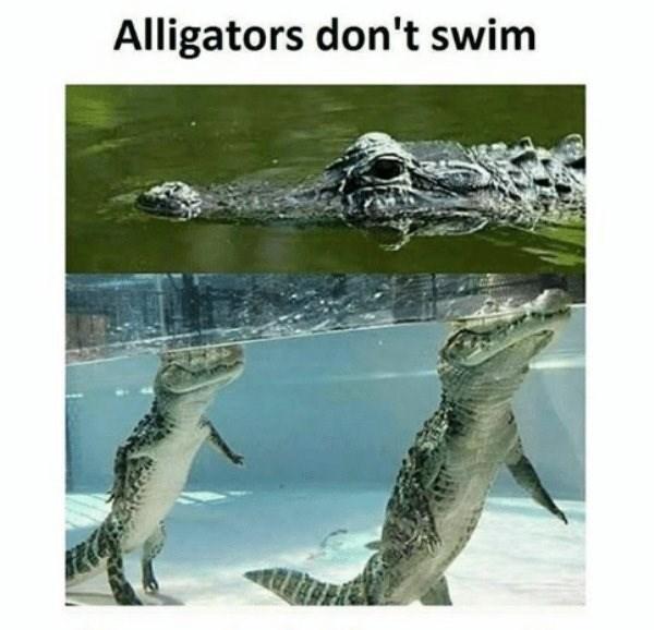 Crocodilia - Alligators don't swim