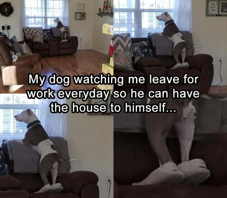 Couch - My dog watching me leave for work everyday' so he can have the house to himself...