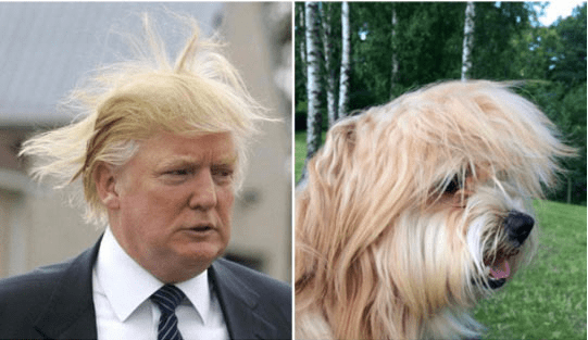 trump look alikes - Dog