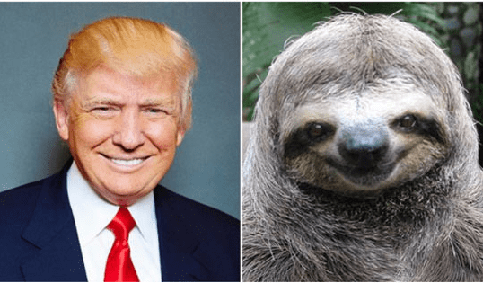 trump look alikes - Three-toed sloth