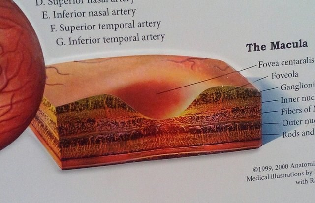 Text - D. E. Inferior nasal artery F. Superior temporal artery G. Inferior temporal artery The Macula Fovea centaralis Foveola Ganglioni Inner nuc Fibers of Outer nue ेपल र Rods and 1999, 2000 Anatomi Medical illustrations by with R
