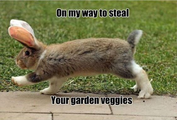 Hare - On my way to steal Your garden veggies