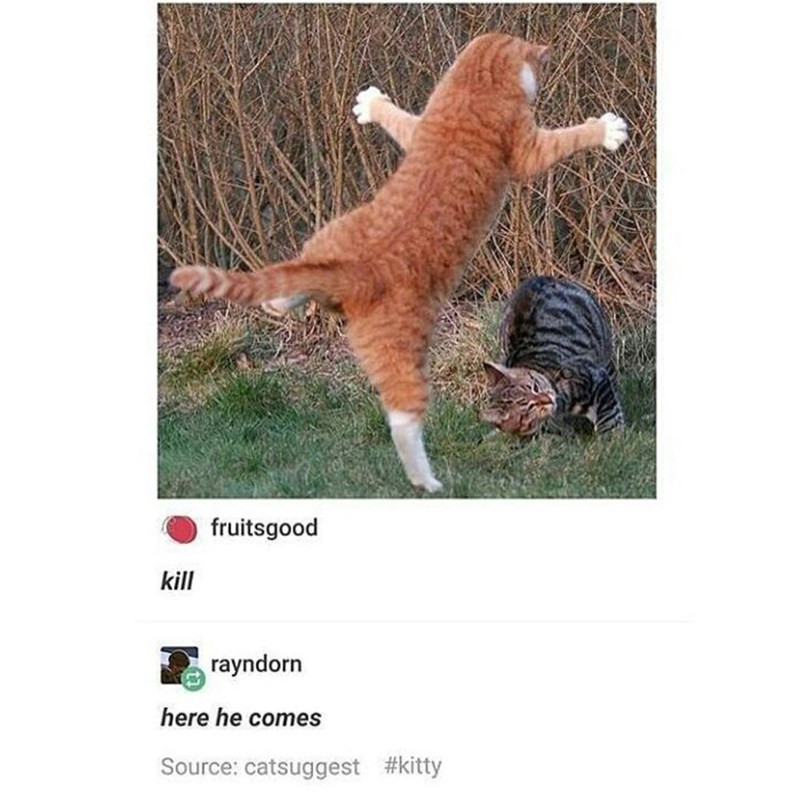 Tumblr thread with picture of cat pouncing unsuspecting other cat