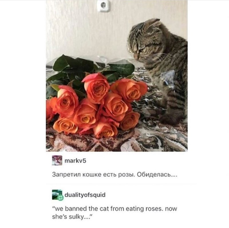Russian Cat Translations meme with picture of cat banned from eating roses looking sad next to bouquet