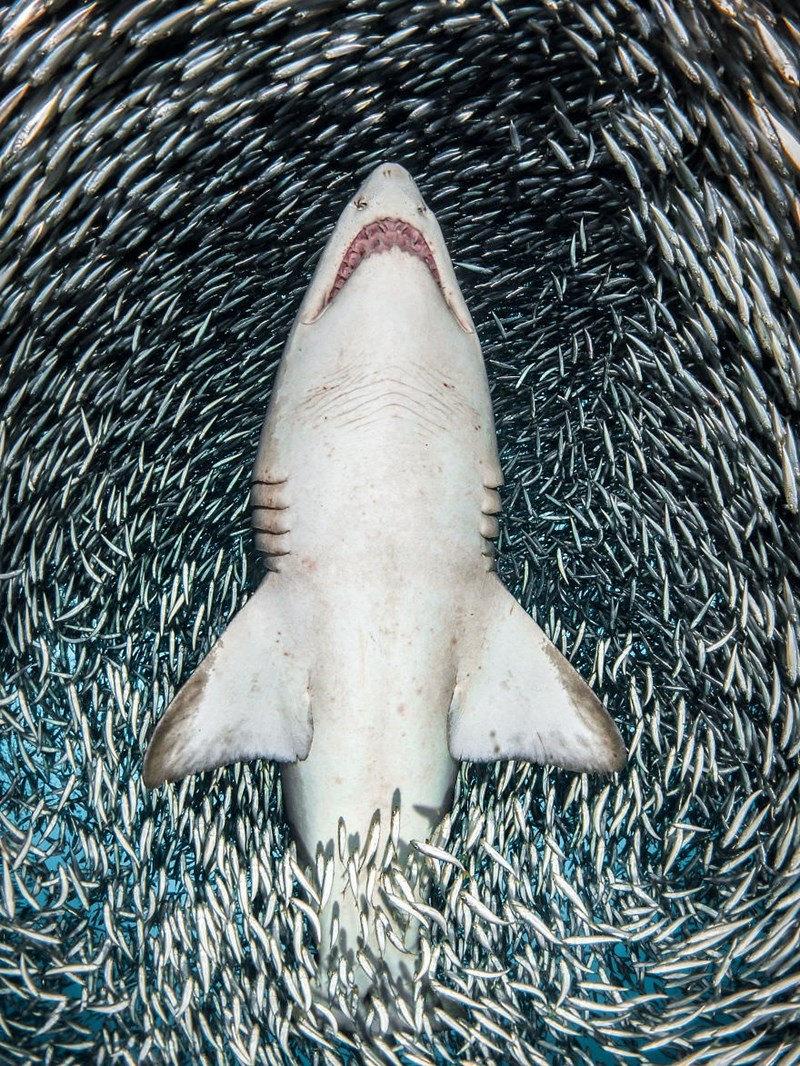 underwater photography contest - Shark