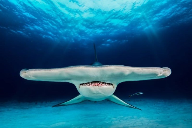underwater photography contest - Great white shark