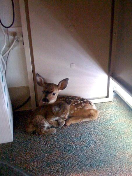 bobcat cuddling fawn - 9228220416