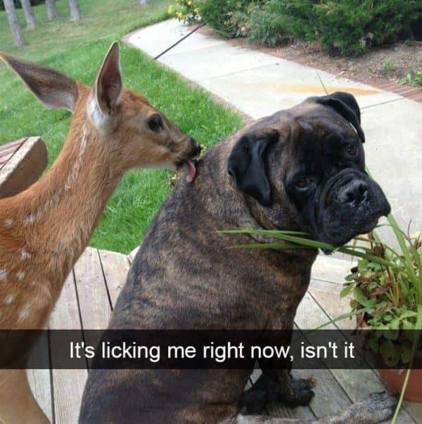 "Pic of a deer licking a cute with Snapchat text overlay that reads, ""It's licking me right now, isn't it"""