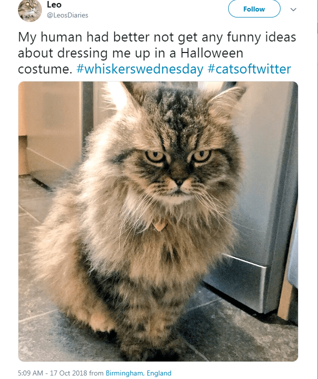 fluffy cat looking angry My human had better not get any funny ideas about dressing me up in a Halloween costume.