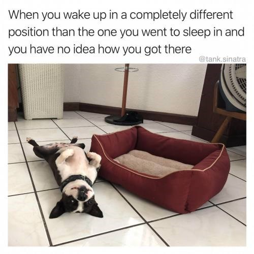 French bulldog - When you wake up in a completely different position than the one you went to sleep in and you have no idea how you got there @tank.sinatra