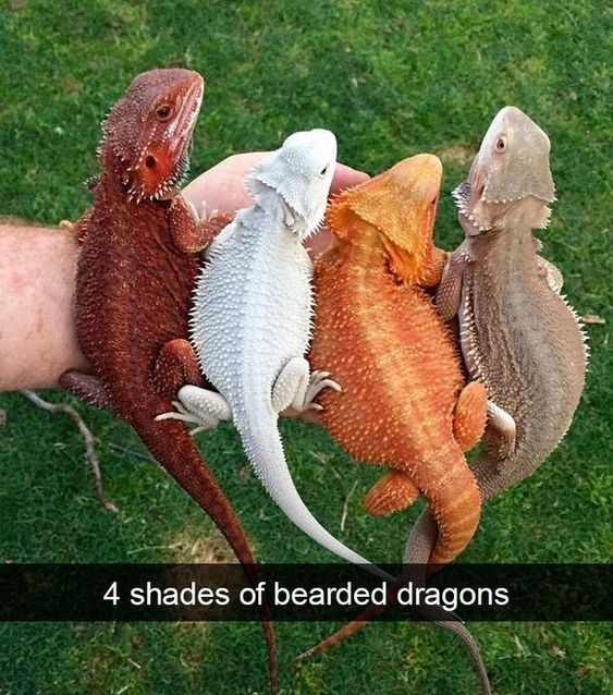 Reptile - 4 shades of bearded dragons