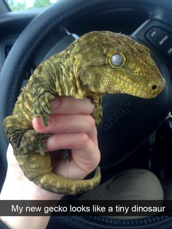 Reptile - Jeep My new gecko looks like a tiny dinosaur