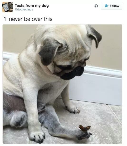 "pug dog watching butterfly land on its paw captioned ""I'll never be over this"""