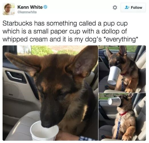 dog eating whipped cream in a cup called pup cup from Starbucks