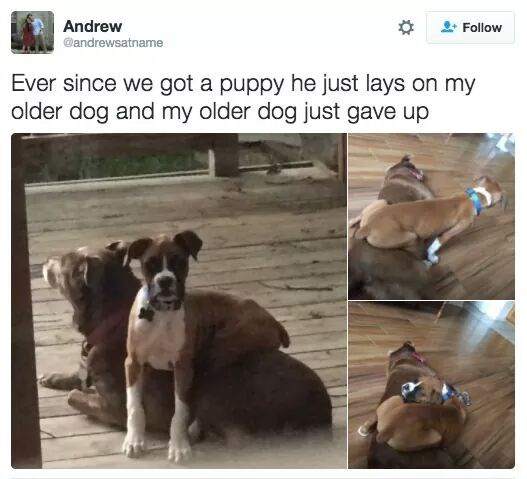 new puppy lays on older dog until older dog stops fighting and accepts it