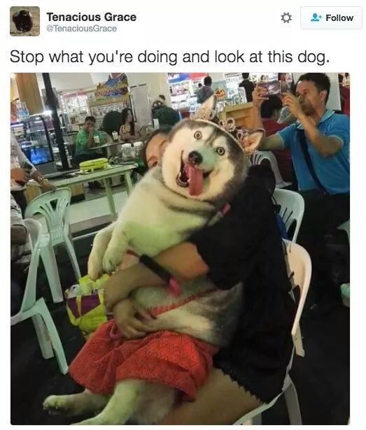 "large husky dog with its tongue out wearing tiara and a skirt captioned ""stop what you're doing and look at this dog"""