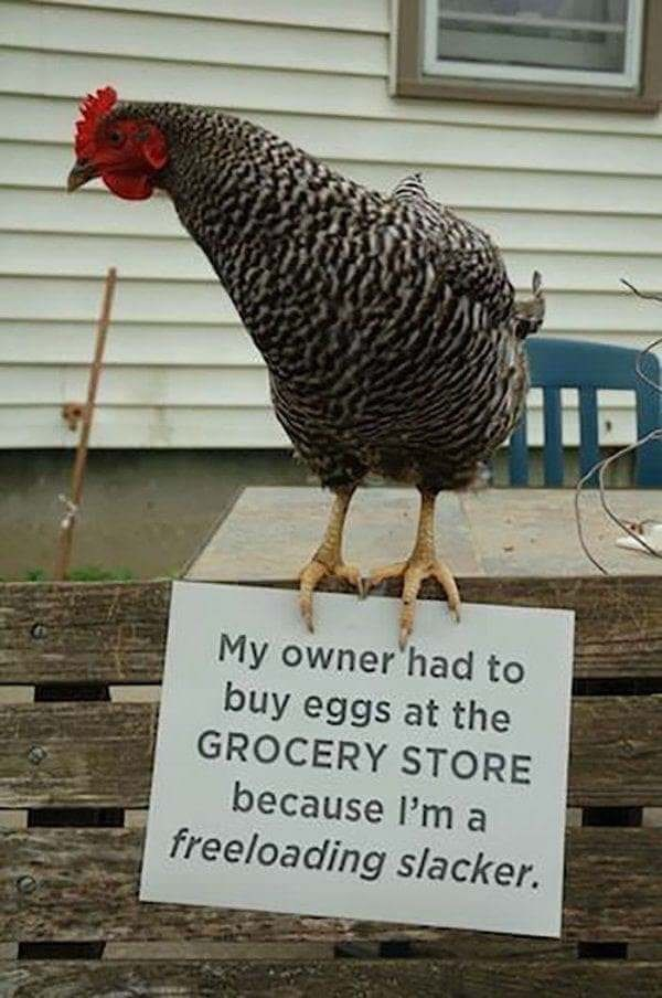 Bird - My owner had to buy eggs at the GROCERY STORE because l'm a freeloading slacker.