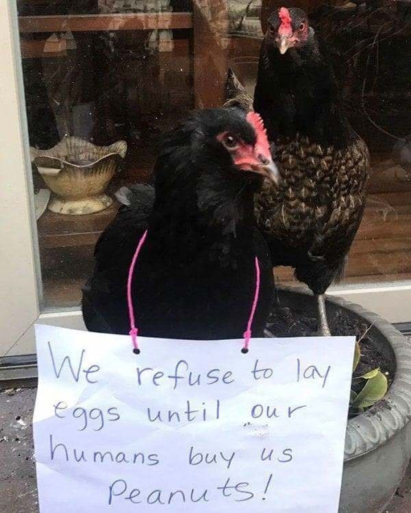 Bird - We refuse to lay eggs until our humans buy Peanuts!
