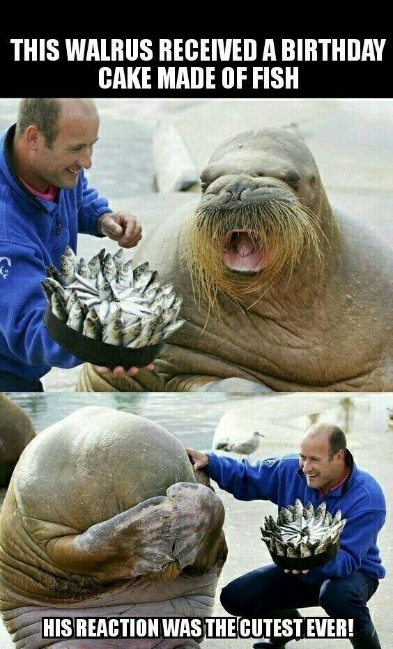 Seal - THIS WALRUS RECEIVED A BIRTHDAY CAKE MADE OF FISH HISREACTION WAS THE CUTESTEVER!