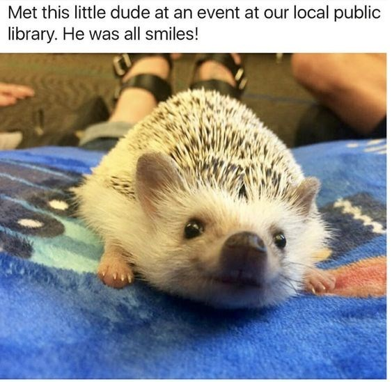 Erinaceidae - Met this little dude at an event at our local public library. He was all smiles!