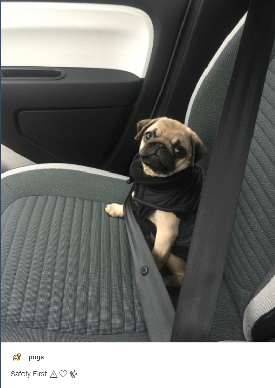 Dog - pugs Safety First A