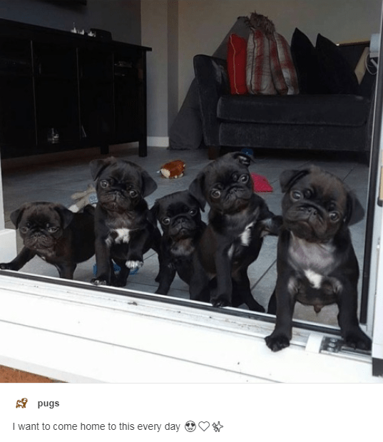 Dog - pugs I want to come home to this every day