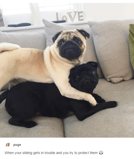 Dog - LoVE pugs When your sibling gets in trouble and you try to protect them
