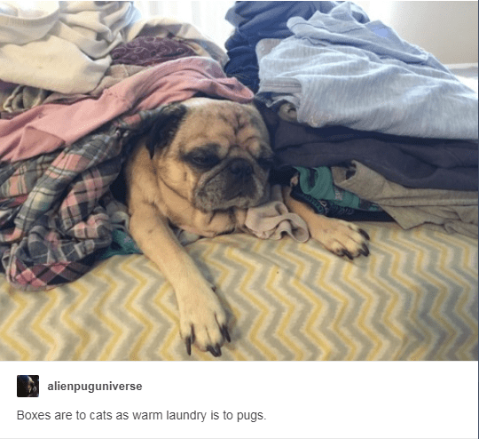 Dog - alienpuguniverse Boxes are to cats as warm laundry is to pugs