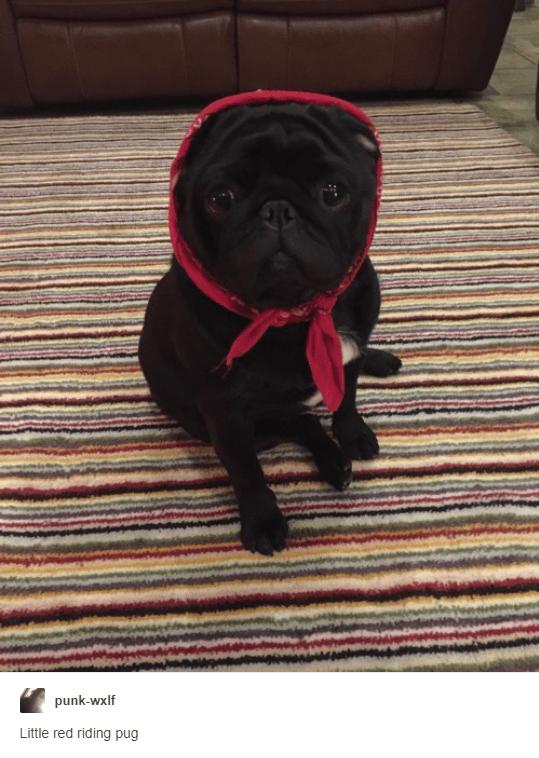 Dog - punk-wxlf Little red riding pug