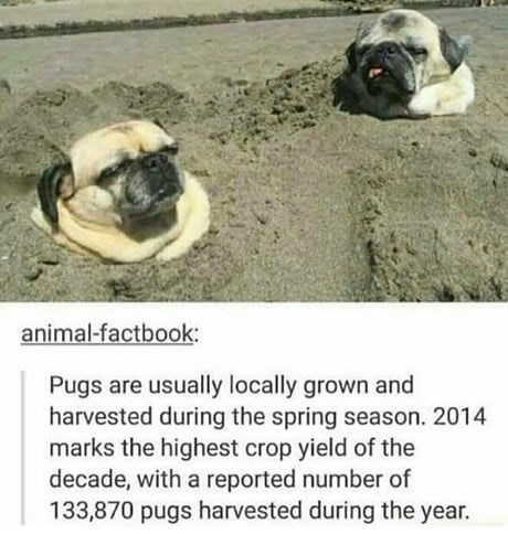 Pug - animal-factbook: Pugs are usually locally grown and harvested during the spring season. 2014 marks the highest crop yield of the decade, with a reported number of 133,870 pugs harvested during the year.