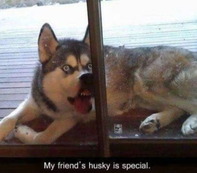 Mammal - My friend's husky is special.