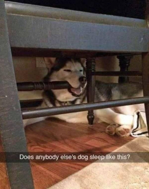 Siberian husky - Does anybody else's dog sleep like this?