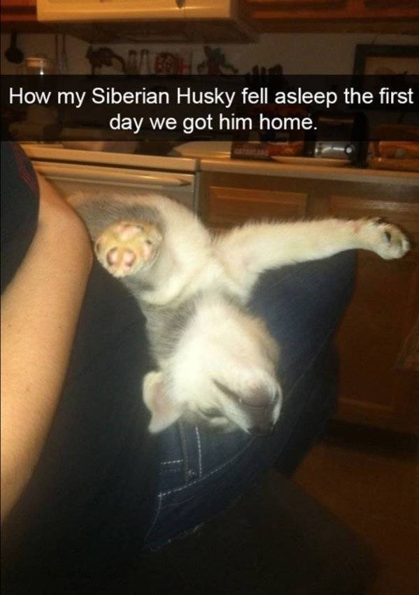 Cat - How my Siberian Husky fell asleep the first day we got him home.