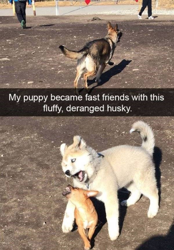 Dog - My puppy became fast friends with this fluffy, deranged husky.