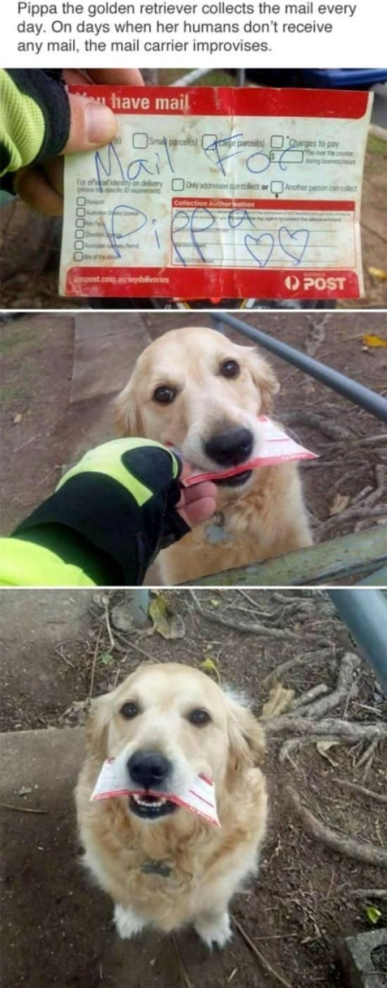 wholesome meme - Mammal - Pippa the golden retriever collects the mail every day. On days when her humans don't receive any mail, the mail carrier improvises have mail Smal rcells pa parc) Charges to pay T tco O for f on delivery 0ly addresse ect orAcpeon l Collection Authorisation mpost.com.audeliveries POST