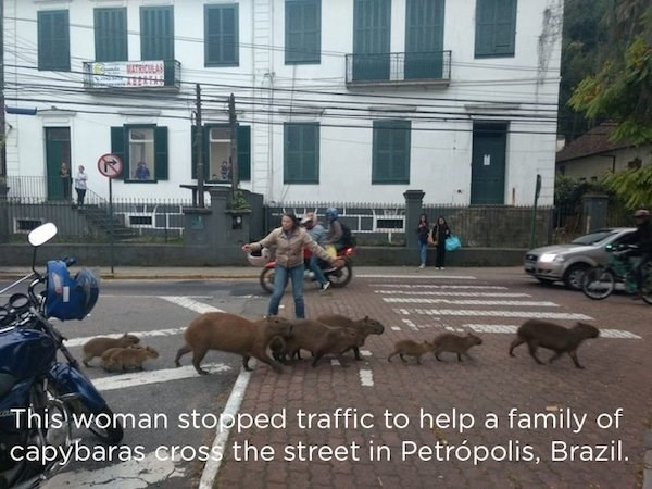 wholesome meme - Dog - ATRICUA This woman stopped traffic to help a family of capybaras cross the street in Petrópolis, Brazil.