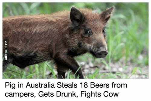 picture from story about pig in Australia stealing beers to get drunk and fight a cow