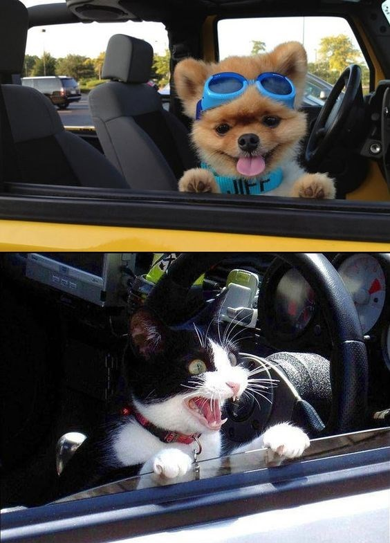 dog meme about how dogs love to have their head outside an open car window vs cats hating it