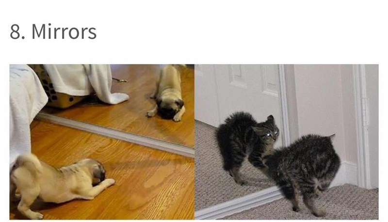 dog meme about the differences a cat and a dog have when they look at themselves in a mirror