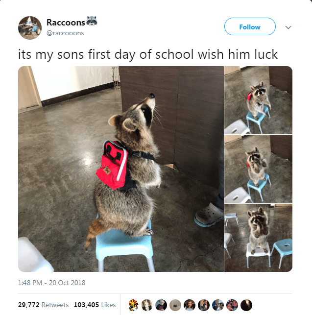 Canidae - Raccoons Follow @raccooons its my sons first day of school wish him luck 1:48 PM 20 Oct 2018 29,772 Retweets 103,405 Likes