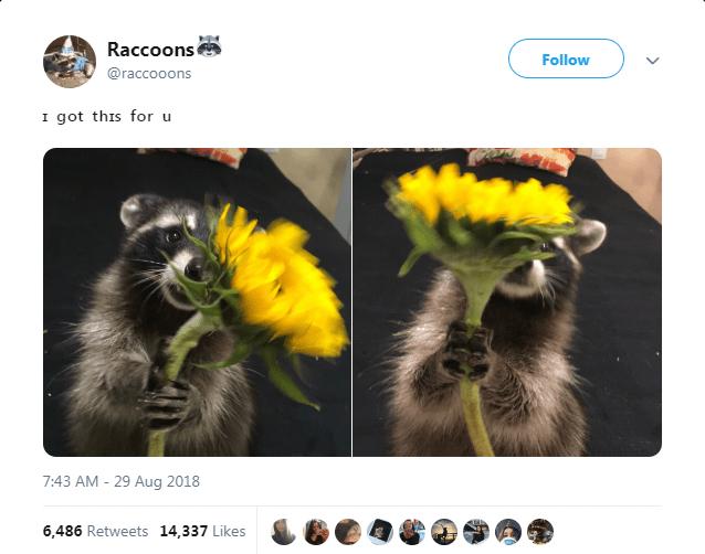 Adaptation - Raccoons Follow @raccooons I got this for u 7:43 AM -29 Aug 2018 6,486 Retweets 14,337 Likes