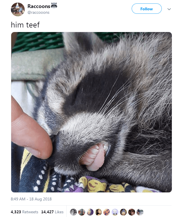 Nose - Raccoons Follow @raccooons him teef 8:49 AM 18 Aug 2018 4,323 Retweets 14,427 Likes