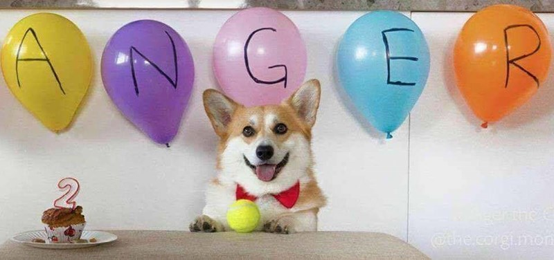 "picture of Corgi dog having birthday party with balloons spelling the word ""anger"""