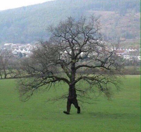 Pic of a tree walking with two legs in a field