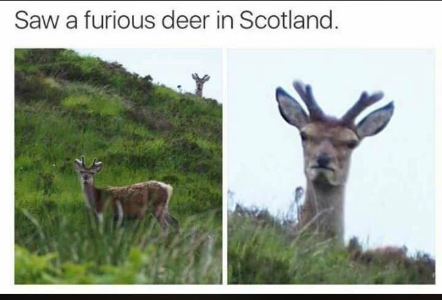 meme image of a furious deer in Scotland