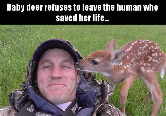 """picture of small deer kissing smiling man captioned """"baby deer refuses to leave human who saved her"""""""