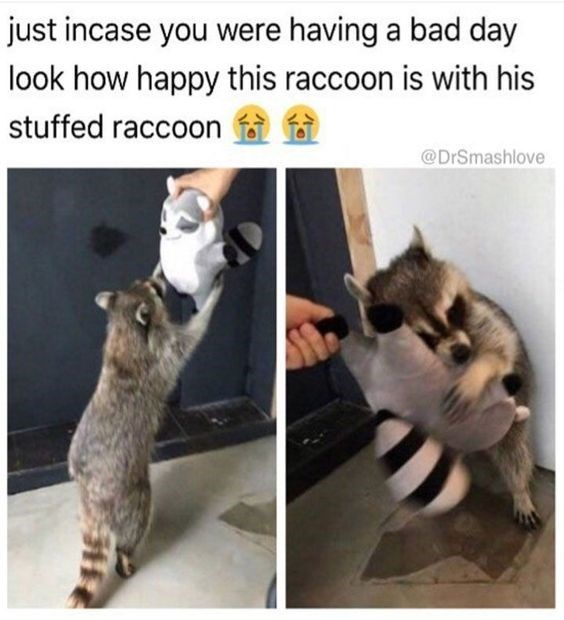 Cat - just incase you were having a bad day look how happy this raccoon is with his stuffed raccoon @DrSmashlove